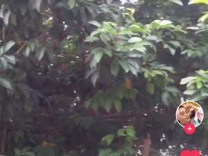 Sudah Siap Panen, Wanita Ini Kesal Buah Rambutannya Hilang Dicuri Tetangga