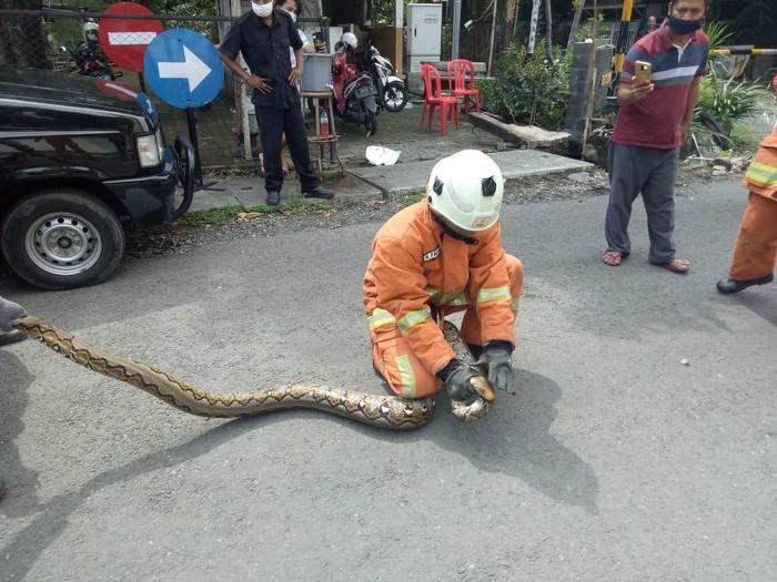 Damkar Surabaya hari ini menangkap dua ular sanca dari lokasi berbeda. Ular tersebut sembunyi di gorong-gorong hingga ada yang masuk kap mobil.
