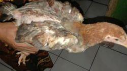 Polemik Bansos Ayam Hidup Langsung Tuai Kritik