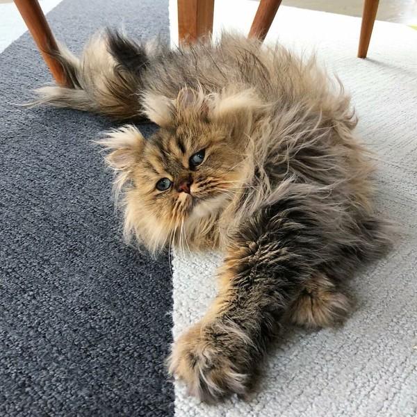 Ternyata wajah Bernaby mendukung kebiasaannya. Kata sang pemiliki, kucing ini sangat suka tidur dengan durasi yang lama.