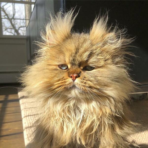 Kucing ras Persia ini berumur 5 bulan.