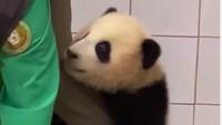 Bayi Panda Ini Viral Karena Uwu Banget