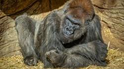 Gorila Tua Kena COVID-19, Akhirnya Disuntik Vaksin