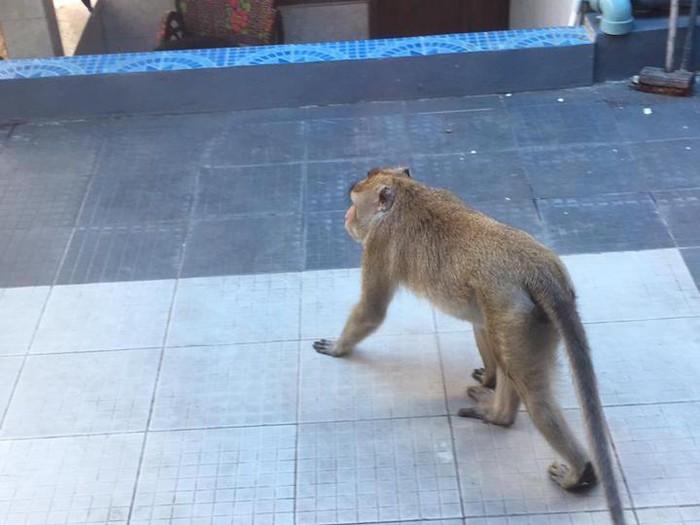 Monyet yang masuk ke permukiman warga di Banjarnegara, 26/1/2021