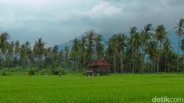 Sawah Mangaran mendadak hit di kalangan wisatawan lokal Banyuwangi.