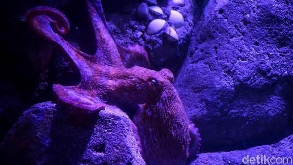 Selain Naga Laut, penghuni baru Jakarta Aquarium & Satwa lainnya adalah Gurita Raksasa atau Giant Pacific Octopus (Enteroctopus dofleini). Satwa akuatik ini berasal dari Samudera Pasifik Utara, membentang dari California sampai ke Jepang dan Korea.