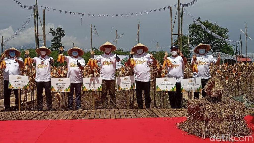 Ridwan Kamil Panen Ribuan Ton Jagung di Garut