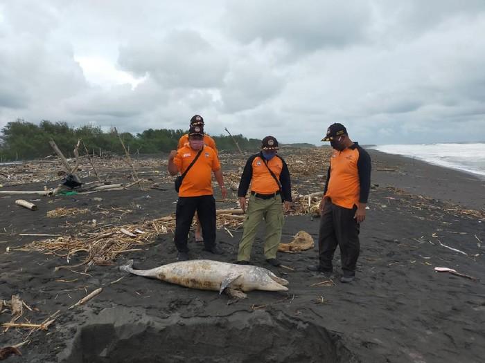 Bangkai penyu dan lumba-lumba di pantai Kulon Progo, Rabu (27/1/2021).