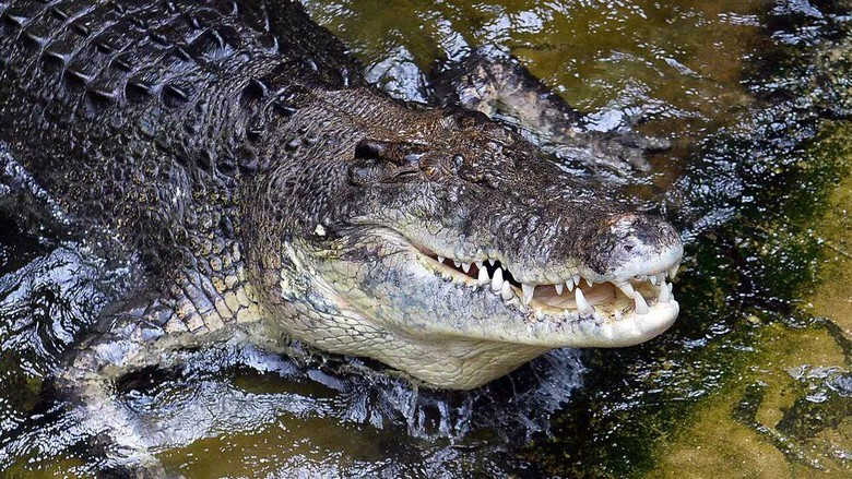 Saltwater crocodiles are known to inhabit the area around Australias Lake Placid, but attacks are relatively rare SAEED KHAN AFP/File