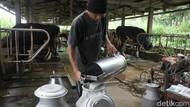 Produksi Susu Sapi Perah di Sleman Tak Terdampak Erupsi Merapi