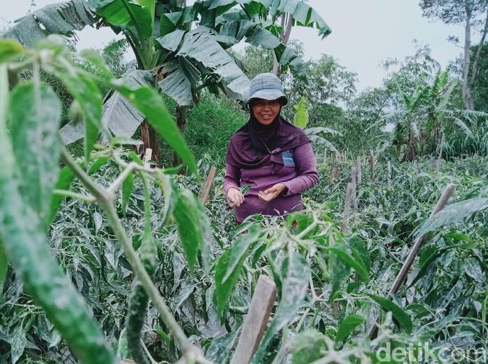 Puluhan hekatre lahan tanaman sayur dan pakan ternak di Klaten terdampak erupsi Gunung Merapi, Kamis (28/1/2021).