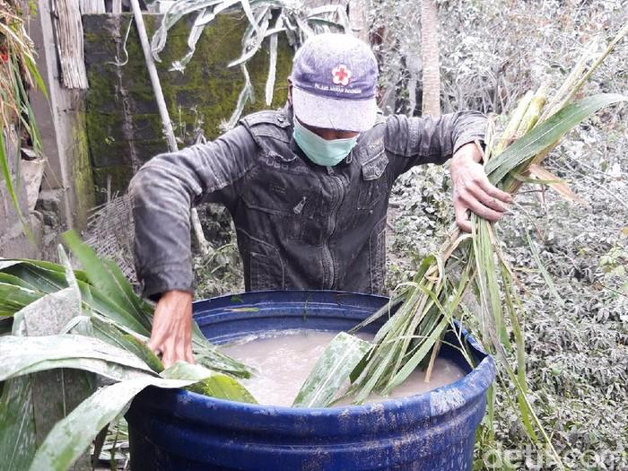Warga di Boyolali mencari rumput untuk pakan ternak. Sebelum diberikan ke ternak, rumput pun harus dicuci karena penuh abu vulkanik Merapi, Kamis (28/1/2021).
