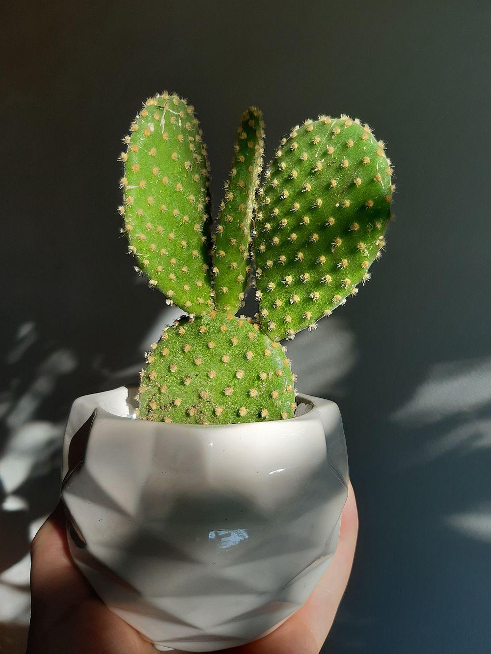 Bunny ear cactus. (Dok: Diys.com)