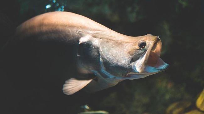 Ikan Belida Lopis Jawa