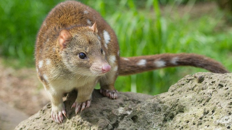 Close up view of a quoll showing its cute facial features and long tail.
