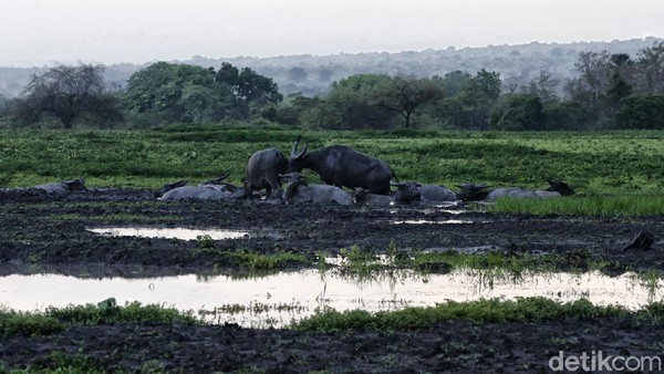Beberapa kerbau terlihat bermain-main di lumpur.
