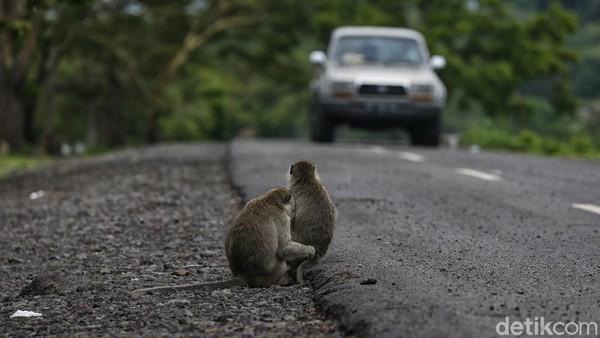 Kemudian ada monyet ekor panjang yang akan menyapa para pengunjung yang datang.