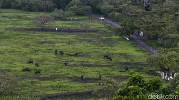 Keberadaan satwa liar ini menjadi ciri khas kawasan konservasi dan Baluran mendapat julukan sebagai Africa van Java atau Little Africa.