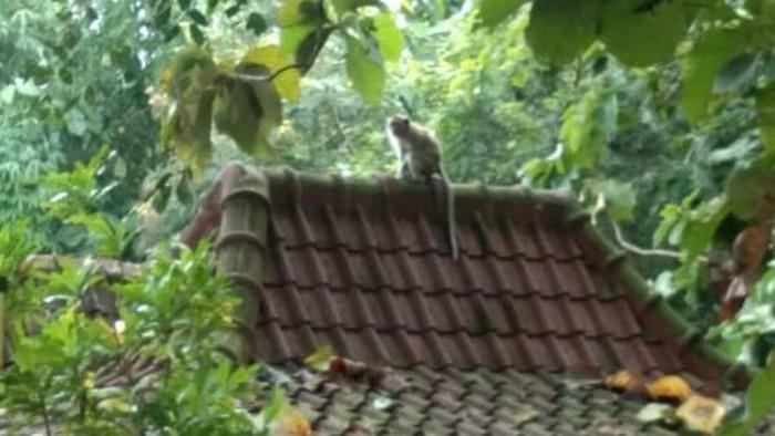 Penampakan monyet di Desa Karang, Kecamatan Delanggu, Klaten.