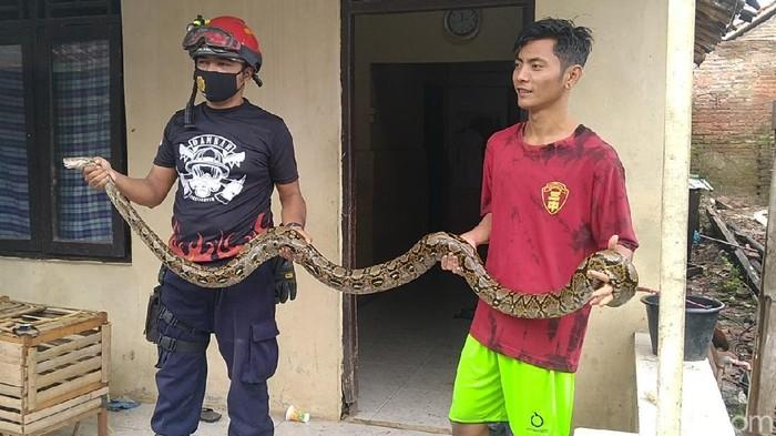 Seekor ular sanca sepanjang 3 meter ditangkap warga dan petugas damkar di Kota Pekalongan, Sabtu (30/1/2021).
