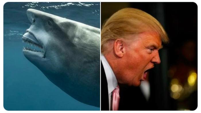 Hiu Mirip Donald Trump