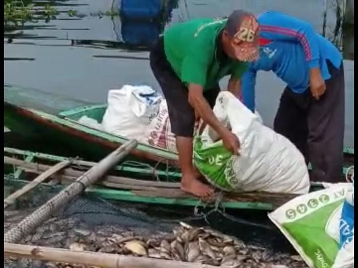 Ribuan ikan mati di Waduk Saguling akibat cuaca buruk.