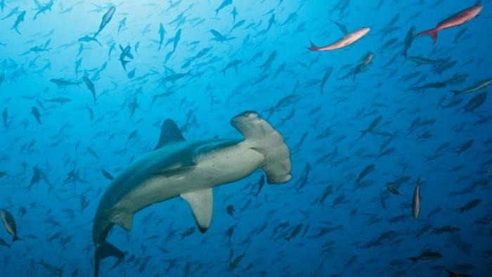 Di ambang kepunahan waktu hampir habis untuk selamatkan hiu dan ikan pari