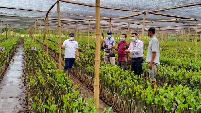 Kebun bibit mangrove di Pasuruan