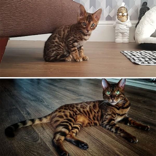 Kucing kecil yang pemalu tumbuh besar menjadi gahar! (dok Bored Panda)