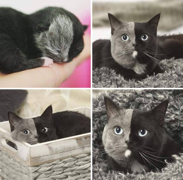 Kecilnya mirip tikus, besarnya menjadi kucing abu hitam yang lucu. (dok Bored Panda)