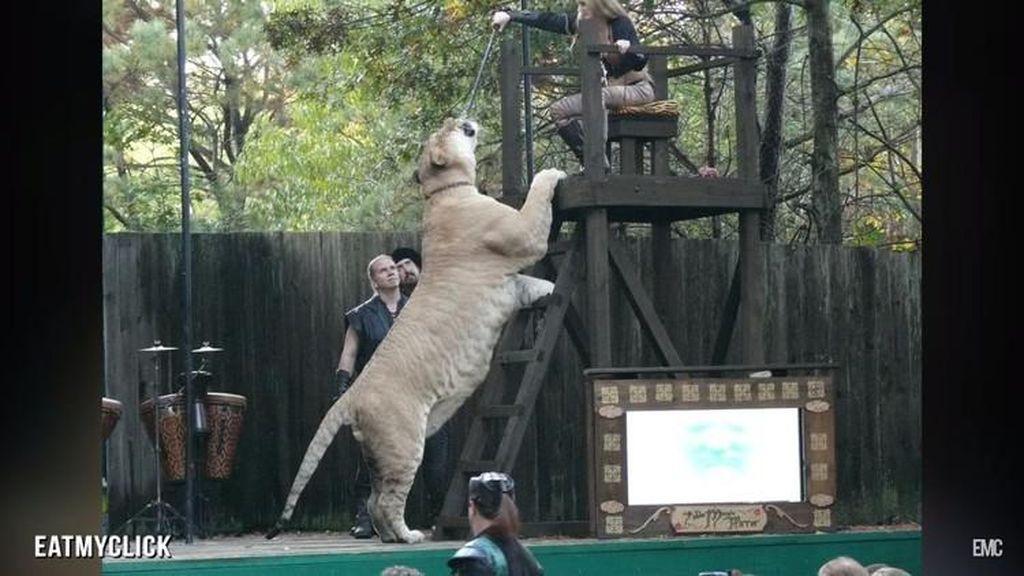 Wujud Hewan Langka Persilangan Harimau dan Singa