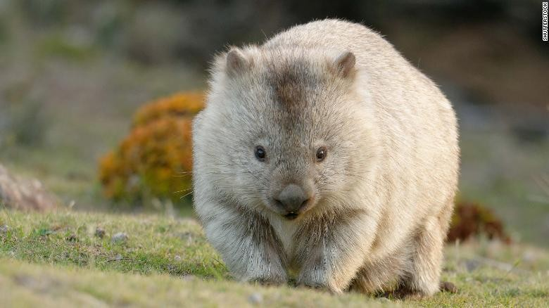 Wombat dan eeknya