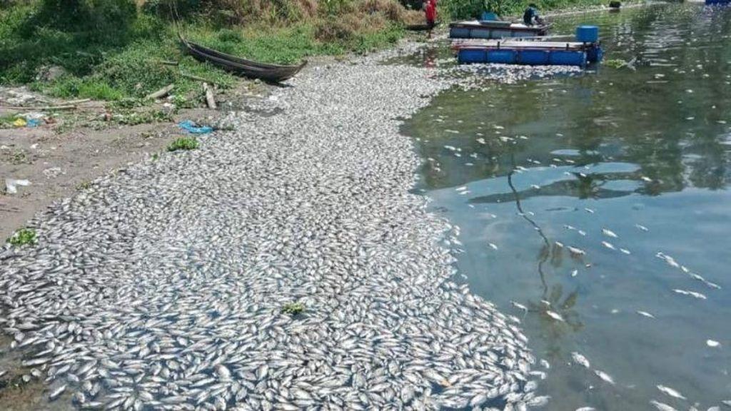 15 Ton Ikan di Danau Maninjau Mati Massal, Diduga Akibat Angin Kencang