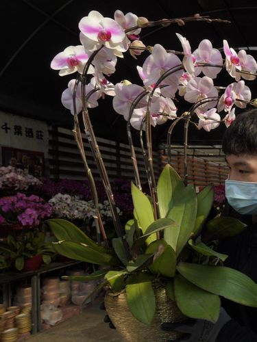 Pots of citrus trees for Chinese New Year are displayed for sale at a real estate property agent store in Hong Kong Tuesday, Feb. 2, 2021. The Lunar New Year holiday is usually a busy period for flower farms in Hong Kong, which gear up to sell plum blossoms, orchids and daffodils at flower markets during the festive season. But the pandemic and restrictions on such festive markets this year has taken a toll on many farms, who worry that they may be left with an oversupply of flowers. (AP Photo/Kin Cheung)
