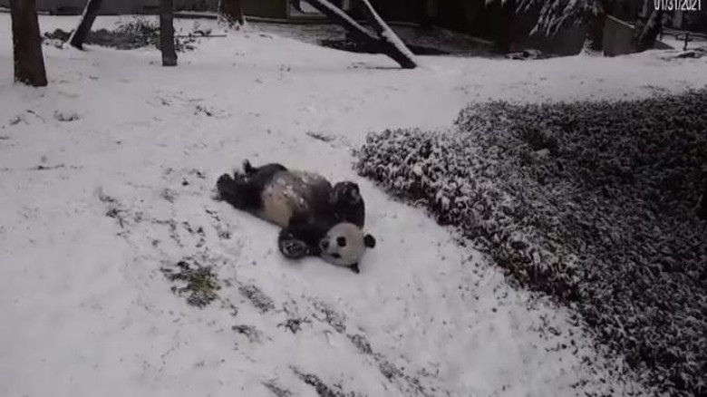 Panda raksasa main salju