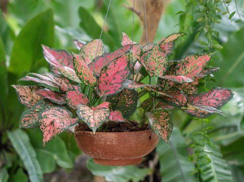 Colorful Aglaonema plants in the garden.Common name: Aglaonema Scientific name: Aglaonema sp. Family: Araceae.