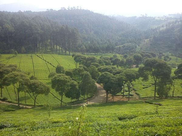 Panorama perkebunan teh