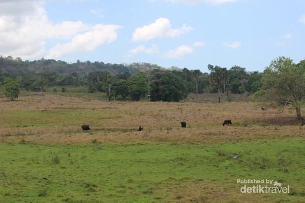 Savana sadengan dengan banteng-banteng liarnya.