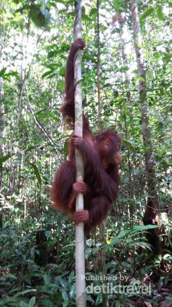 Orangutan yang sedang bergelantungan di batang pohon