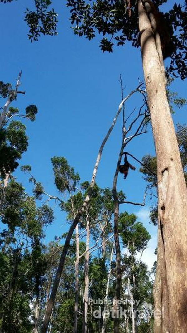 Saat feeding time, orangutan dari berbagai lokasi akan menuju lokasi feeding