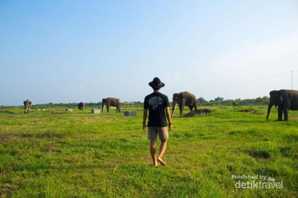 Seorang pria berjalan menuju kawanan gajah