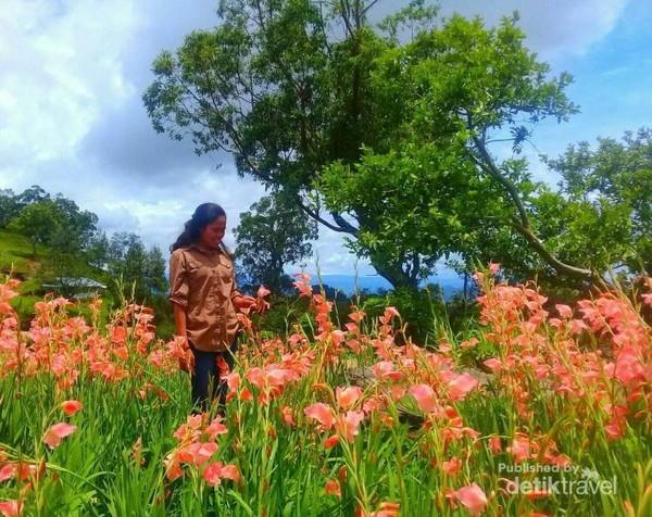 Mekarnya bunga gladiol di Timor Tengah Selatan