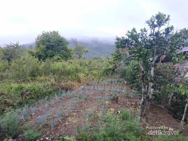 kebun sayur masyarakat, yang ber view bukit bekabut