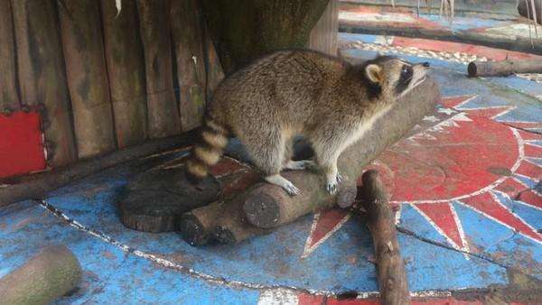 Rakun merupakan hewan asli dari Amerika Utara