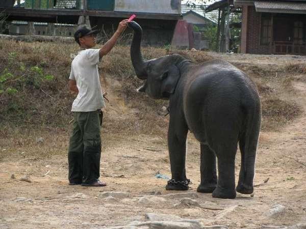 Anak gajah bersama pawang (Yusman Firmansyah /ACI)