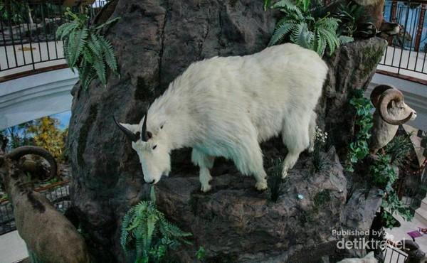 Kambing Gunung yang ditata seperti di habitat aslinya.