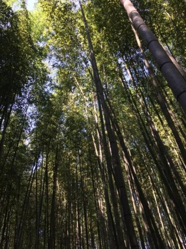 Betuk batang pohon bambu Arashiyama