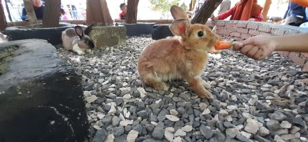 Si kecil pasti senang bermain bersama kelinci imut di hari liburnya