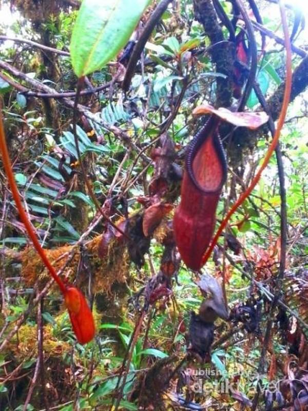 Pohon Kantong Semar yang banyak tumbuh di Gunung Masurai