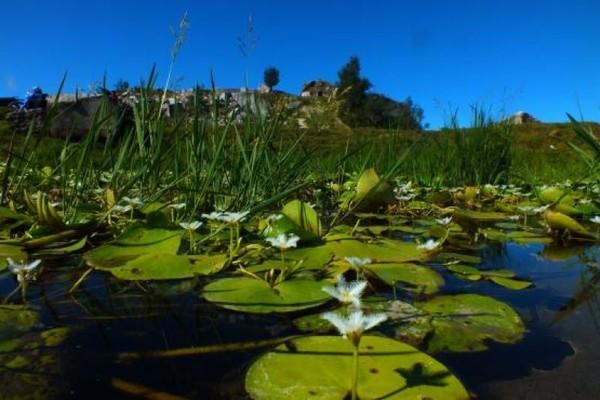 Hamparan Bunga Teratai di kaki bukit Batu Naitapan